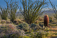 Fouquieria splendens, Ocotillo shrub, and Ferocactus cylindraceus, barrel cactus and Cholla cactus; California native plant Anza Borrego State Park