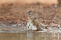578820044 a wild lincoln's sparrow melospiza lincolnii bathes in a small waterhole on santa clara ranch hidalgo county rio grande valley texas united states