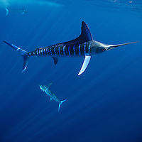 qf1826-D. Striped Marlin (Tetrapturus audax). Baja, Mexico, Pacific Ocean..Photo Copyright © Brandon Cole. All rights reserved worldwide.  www.brandoncole.com..This photo is NOT free. It is NOT in the public domain. This photo is a Copyrighted Work, registered with the US Copyright Office. .Rights to reproduction of photograph granted only upon payment in full of agreed upon licensing fee. Any use of this photo prior to such payment is an infringement of copyright and punishable by fines up to  $150,000 USD...Brandon Cole.MARINE PHOTOGRAPHY.http://www.brandoncole.com.email: brandoncole@msn.com.4917 N. Boeing Rd..Spokane Valley, WA  99206  USA.tel: 509-535-3489