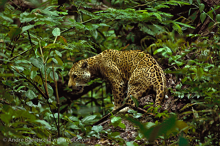 Jaguar Panthera Onca In Lowland Tropical Rainforest