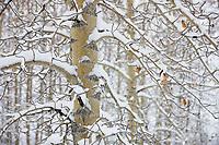 Snow on the branches of balsam poplar trees, Wiseman, Alaska.