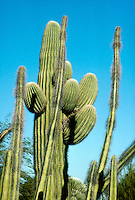 CACTUS VARIETIES<br /> Saguaro (Carnegiea Gigantea)<br /> The Saguaro is the state flower of Arizona and is composed of tall, thick, fluted columnar stem, 18 to 24 inches in diameter with several large branches (arms) curving upward.  The Saguaro grows 1&quot; a year and lives up to 200 years.