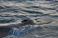 Fin Whale Balaenoptera physalus Close up of head and splash guard Spitsbergen Arctic Norway North Atlantic