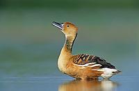 Fulvous Whistling-Duck, Dendrocygna bicolor, adult calling, Welder Wildlife Refuge, Sinton, Texas, USA