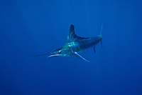 qf0520-D. Striped Marlin (Tetrapturus audax). Baja, Mexico, Pacific Ocean..Photo Copyright © Brandon Cole. All rights reserved worldwide.  www.brandoncole.com..This photo is NOT free. It is NOT in the public domain. This photo is a Copyrighted Work, registered with the US Copyright Office. .Rights to reproduction of photograph granted only upon payment in full of agreed upon licensing fee. Any use of this photo prior to such payment is an infringement of copyright and punishable by fines up to  $150,000 USD...Brandon Cole.MARINE PHOTOGRAPHY.http://www.brandoncole.com.email: brandoncole@msn.com.4917 N. Boeing Rd..Spokane Valley, WA  99206  USA.tel: 509-535-3489