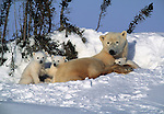 Polar Bear and cubs, Churchill, Manitoba