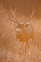 Mule deer buck at sunrise