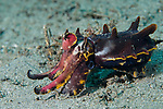 Anilao, Philippines; a Flamboyant Cuttlefish (Metasepia pfefferi) displaying warning colors and patterns while 'walking' across the sandy bottom