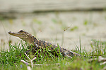 Columbia Ranch, Brazoria County, Damon, Texas; a small, juvenile American Alligator (Alligator mississippiensis), sunning itself on top of a fire ant mound along the shores of the slough