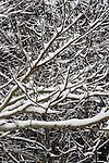 Winter scenes of snow covered Mimosa tree limbs.  Jim Bryant Photo. ©2014. All Rights Reserved.