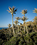 Nikau Palms near the Whanganui Inlet. Tasman Region. New Zealand. Vertical format.