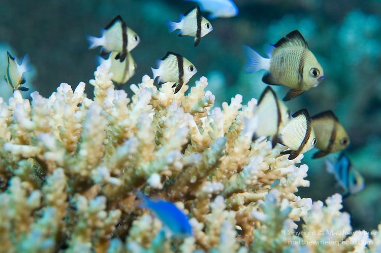 Reticulated Dascyllus Fish Matthew Meier Photography