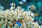 Paradise House Reef, Taveuni, Fiji; a school of Reticulated Dascyllus (Dascyllus reticulatus) fish shelter within the branching corals