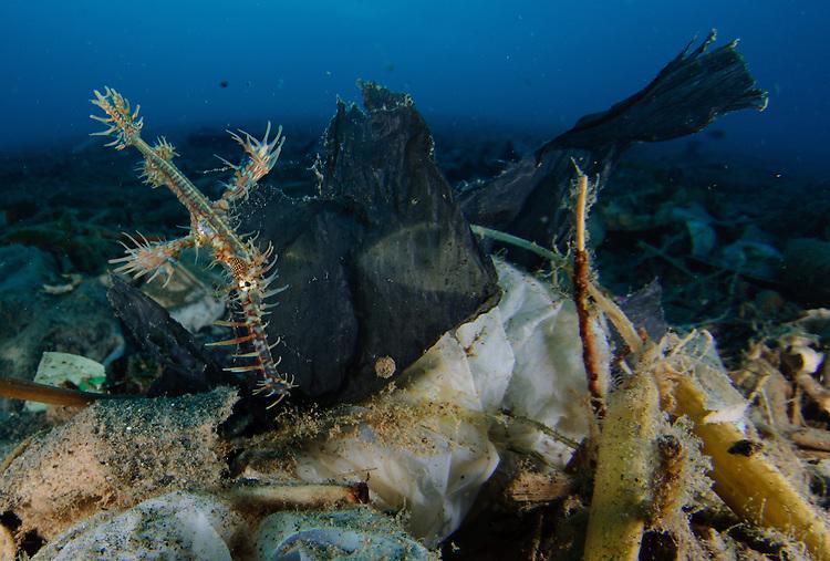 ornate ghost pipefish: Solenostomus paradoxus amongst volcanic debris and rubbish, Gorontalo, Indonesia