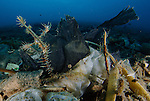 ornate ghost pipefish: Solenostomus paradoxus amongst volcanic debris and rubbish, Gorontalo, Indonesia