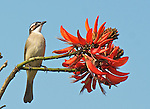 Chinese Bulbul Pycnonotus sinensis (also called Light-vented Bulbul)