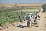 Roshdy Ayad drives a cart along a farm road in Zeitun, Gaza. The border with Israeli is just 600 meters away, and military activity in the area has precluded constructing the infrastructure necessary for farming. In the wake of the truce that ended the 2014 war between Hamas and the Israeli military, Diakonie Katastrophenhilfe, a member of the ACT Alliance, built this road so that farmers could have access to the area. ACT Alliance members are supporting health care, vocational training, rehabilitation of housing and water systems, psycho-social care, and other humanitarian actions throughout the besieged Palestinian territory.