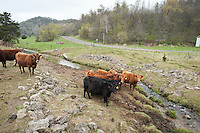 Cattle damage the watershed of a tributary to the Timber Coulee creek of Wisconsin's Driftless Area near Viroqua.