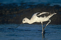 506853113 a wild american avocet recurvirostra americana in winter plumage feeding in san elijo lagoon san diego county california.tif