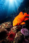 Santa Cruz Island, Channel Islands National Park and National Marine Sanctuary, California; a Garibaldi (Hypsypops rubicundus) fish, Purple Sea Urchins (Strongylocentrotus purpuratus) and Red Sea Urchins (Strongylocentrotus franciscanus) with sun rays streaming through the blue water above , Copyright © Matthew Meier, matthewmeierphoto.com All Rights Reserved