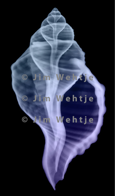X-ray image of a Poulsen's triton seashell (color on black) by Jim Wehtje, specialist in x-ray art and design images.