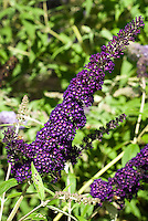 Butterfly Bush Buddleja davidii 'Black Knight' aka Buddleia davidii Black Knight in dark purple flower