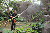 Gardener hosing down plants in the Great Glasshouse, in the new Parc Zoologique de Paris or Zoo de Vincennes, (Zoological Gardens of Paris or Vincennes Zoo), which reopened April 2014, part of the Musee National d'Histoire Naturelle (National Museum of Natural History), 12th arrondissement, Paris, France. Picture by Manuel Cohen
