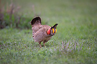 572110266 a wild lesser prairie chicken tympanuchus pallidicintus displays and struts on a lek on a remote ranch near canadian in the texas panhandle