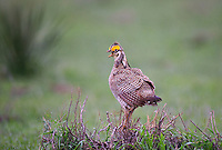 572110188 a wild lesser prairie chicken tympanuchus pallidicintus displays and struts on a lek on a remote ranch near canadian in the texas panhandle