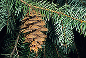 Douglas Fir (Pseudotsuga menziesii), Placer County, California, USA
