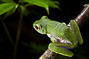 White Lipped tree frog {Boophis albilabris} in rainforest at night. Masoala Peninsula National Park, north east Madagascar.
