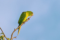 566700072 a wild green parakeet aratinga holochlora perched in a tree in laredo webb county texas united states