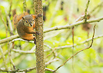 Red-tailed Squirrel, Sciurus granatensis.  Tandayapa Valley, Ecuador