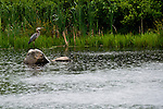 MIDDLEBURY, CT-4 July 2014-070414EC05--   A heron stands guard in the rain at Fenn's Pond in Middlebury Friday. Erin Covey Republican-American
