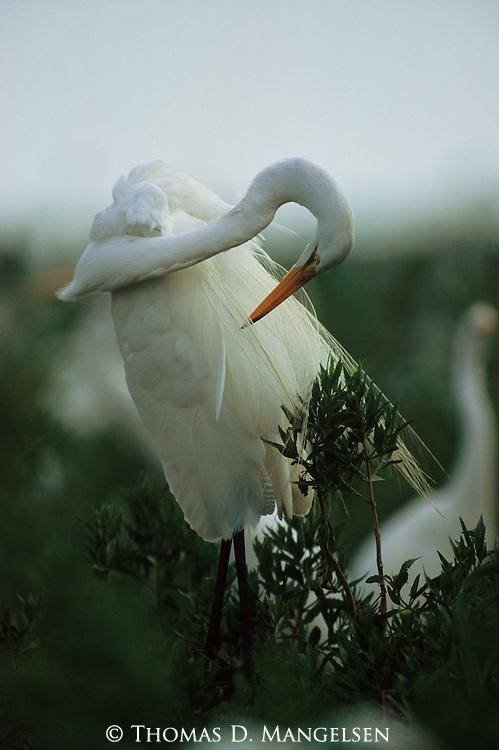 A white egret preens its plumage.