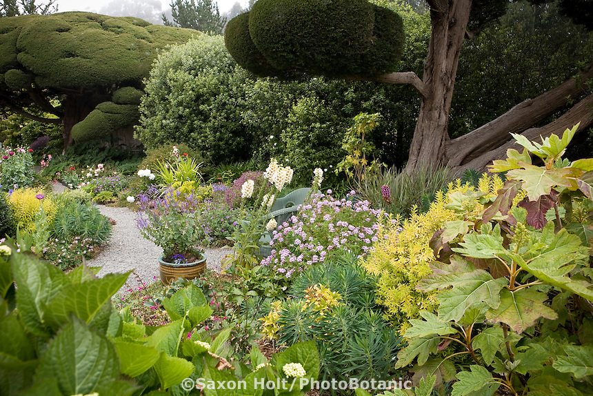 Beautiful California cottage garden mixed border with pruned Monterey Cypress, scented Geranium, Pittosporum, and Oak leaf Hydrangea (right foreground). Sally Robertson Garden.