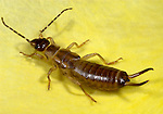 Earwig, Forficula auricularia, adult on petal of yellow rose flower in garden, .United Kingdom....
