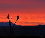 Bald Eagle at Sunrise, Bosque del Apache Wildlife Refuge, New Mexico