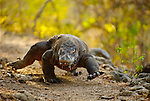 The ground shakes as a large male Komodo dragon approaches a potential mate.