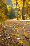 Golden leaves line the roadway in the filtered light of the St. Joe National forest near Osburn, Idaho.