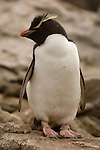 A rockhopper penguin on West Point Island in the Falkland Islands.