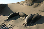 weaner elephant seal in sand dune at Ano Nuevo SR