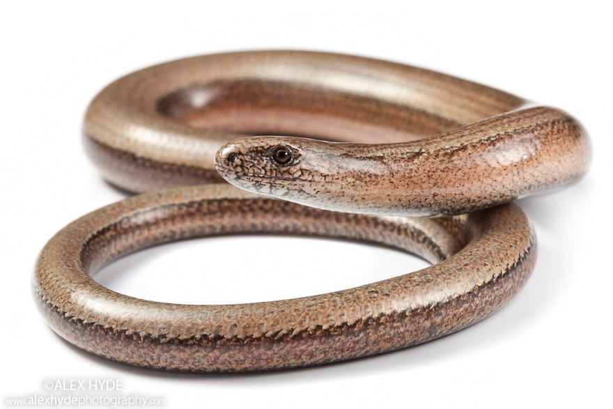 Slow Worm {Anguis fragilis}, photographed on a white background. Midi-Pyrenees,  Pyrenees, France. August.