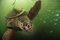 The adult loggerhead sea turtles (Caretta caretta) are often overgrown by algea and accompanied by remora (Remora remora) , also called suckerfish, which feed from leftovers when the sea turtle crunches crabs .