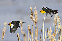 Yellow-headed Blackbirds in a chase - CI