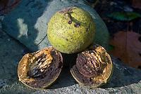 Black Walnut nuts, Juglans nigra, the eastern black walnut, cut open and whole in husk