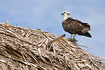 Long Caye, Glover's Reef Marine Reserve, Belize, Central America; an Osprey (Pandion haliaetus) bird sits atop a thatched hut on a sand bar off Long Caye , Copyright © Matthew Meier, matthewmeierphoto.com All Rights Reserved