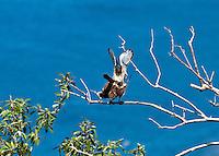 Killi Killi Birds / Sparrow Hawks <br /> mating pair<br /> along the Johnny Horn Trail<br /> Leinster Bay<br /> Virgin Islands National Park<br /> St. John<br /> U.S. Virgin Islands