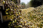 A Scully Packing Company dumps rotting pears in Finley, CA on Tuesday, September 12, 2006. The plant typically discards less than a truckload a season, while this season &ETH; due to a lack of laborers &ETH; they're discarding 4-6 truckloads per day. Stepped-up border enforcement has led to a shortage of migrant labor which has left much of the pear crop rotting on the tree and ground in Lake County.