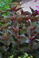 Eupatorium rugosum 'Chocolate' (Ageratina altissima 'Chocolate') dark purple foliage